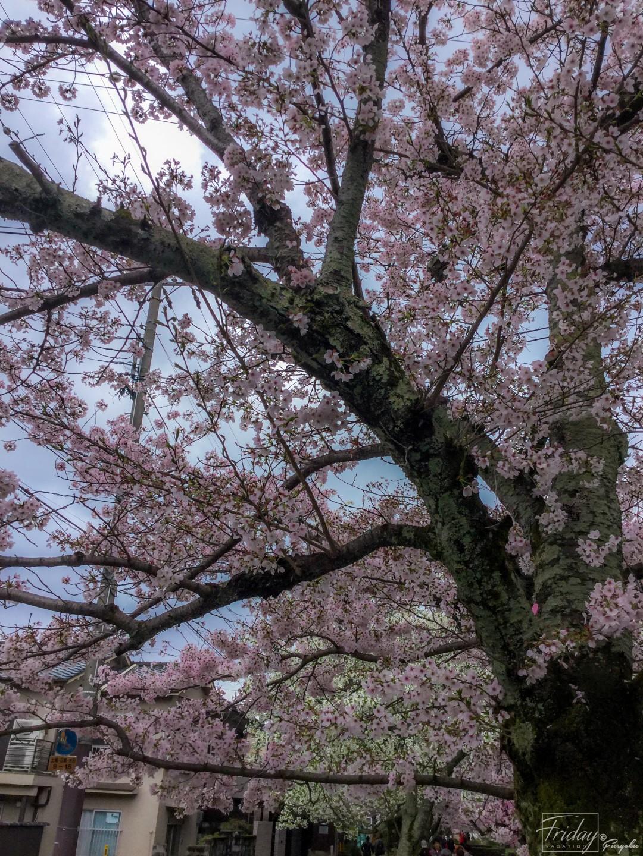 ซากุระในเกียวโต นครศรีดีย์